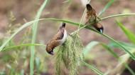 白腰文鸟图片(10张)