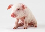 猪图片(14张)
