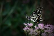 忙碌的蝴蝶图片(12张)