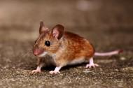 可爱的小老鼠图片(12张)