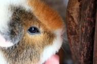 豚鼠图片(8张)
