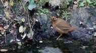 水边的画眉鸟图片(8张)
