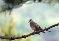 斑鸠图片(11张)