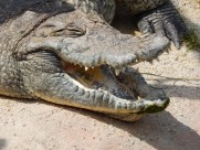 凶狠的鳄鱼图片(14张)