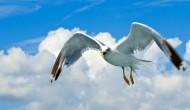飞翔的海鸥高清图片(13张)