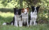 可爱的边境牧羊犬/边牧图片(7张)