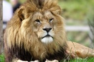 威武的雄狮图片(14张)