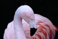 火烈鸟图片(26张)