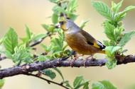 醒目的金翅雀图片(11张)