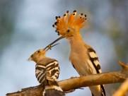超有爱的戴胜鸟类图片(8张)