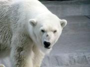 可爱的北极熊图片(13张)