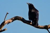漆黑如墨的乌鸦图片(14张)