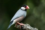 爪哇禾雀鸟类图片(8张)