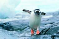 高清企鹅跳水图片(12张)