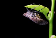 斑衣蜡蝉图片(8张)