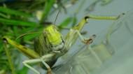 害虫蚂蚱图片(10张)