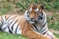 野外老虎图片(12张)