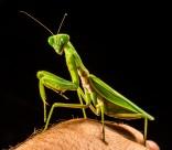 绿色霸道的螳螂图片(14张)