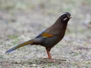 金翼白眉鸟类图片(6张)