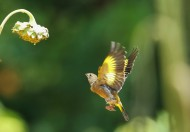 金翅雀图片(13张)