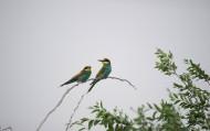 可爱的黄喉蜂虎鸟类图片(9张)