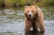 体型庞大的棕熊图片(10张)