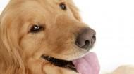 可爱金毛犬图片(6张)