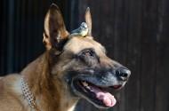 大型比利时玛利诺犬图片(15张)