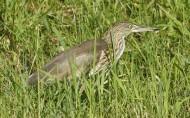 池鹭鸟类图片(21张)