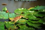 荷叶上的黄苇鳽图片(8张)