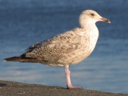 海鸥鸟类图片(22张)