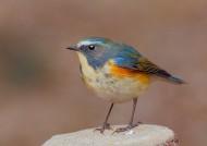 红胁蓝尾鸲鸟类图片(14张)