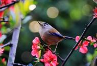 叫声清脆的蓝翅希鹛图片(16张)