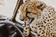 敏捷的猎豹图片(10张)