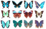 蝴蝶标本图片(14张)