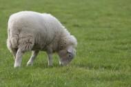 可爱绵羊图片(12张)