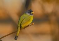 领雀嘴鹎鸟类图片(11张)