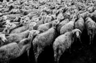 羊群图片(17张)