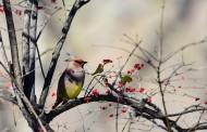 树上的太平鸟图片(11张)