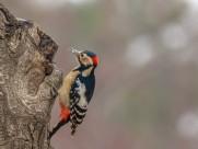 大斑啄木鸟图片(7张)