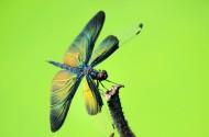黑丽翅蜻图片(10张)