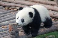 国宝大熊猫图片(12张)
