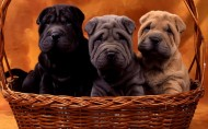 温顺的沙皮狗图片(8张)