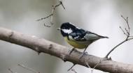 黄腹山雀鸟类图片(9张)