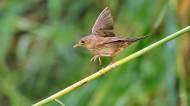 行踪神秘的小蝗莺图片(17张)