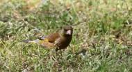 金翅雀图片(11张)