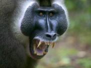 灵长类动物图片(35张)