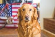 可爱的金毛犬图片(10张)