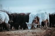 一群正在吃草的牛图片(18张)