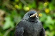 黑色的乌鸦图片(17张)